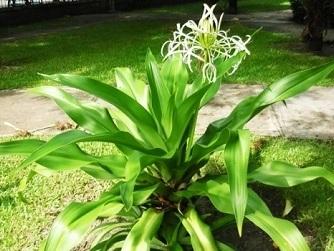 Những tác dụng tuyệt vời của cao náng hoa trắng