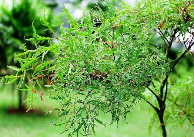 Những lợi ích sức khỏe tuyệt vời của cây đinh lăng