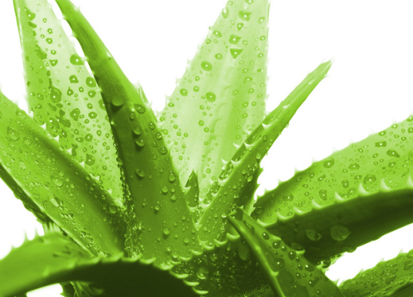 Các thảo dược dưỡng ẩm da trong ngày khô hanh