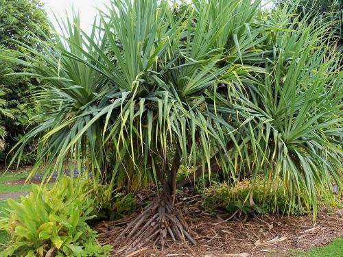 Tiết lộ phương pháp chữa sa dạ con bằng cây dứa dại