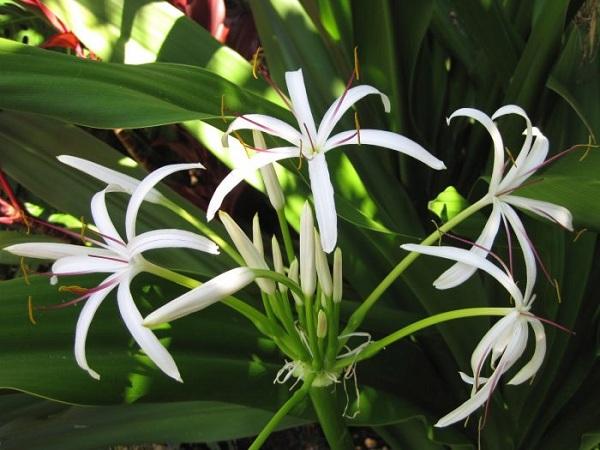 Sự khác nhau giữa náng hoa trắng và trinh nữ hoàng cung