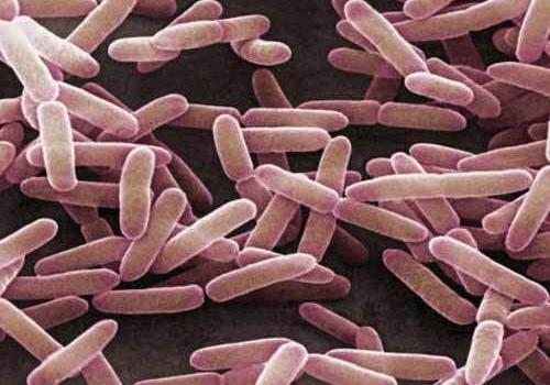 men vi sinh Lactobacillus Sporogenes