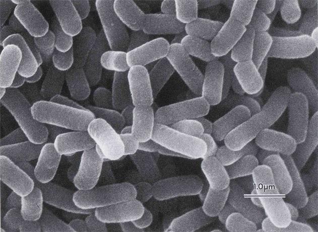Men vi sinh Lactobacillus casei