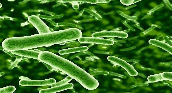 Men vi sinh Bifidobacterium